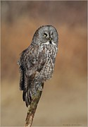 Gray Pyrography Framed Prints - Great Gray Owl Framed Print by Daniel Behm