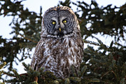Gary Hall - Great Gray Owl