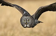 Grey Pyrography Posters - Great Gray Owl in flight Poster by Daniel Behm