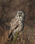 Canada Art Pyrography Prints - Great Gray Owl in morning light Print by Daniel Behm