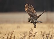 Great Pyrography Posters - Great Gray owl liftoff Poster by Daniel Behm