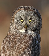 Grey Pyrography Posters - Great Gray Owl Portrait Poster by Daniel Behm