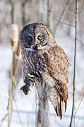 Rare Bird Posters - Great Gray Owl with Vole Poster by Mircea Costina Photography