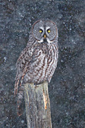 Jim Cumming - Great Grey Owl on Post