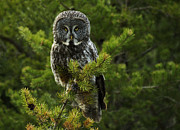 Owl Posters - Great Grey Owl Poster by Bob Christopher