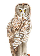 Catherine Basten - Great Grey Owl 