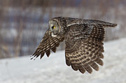 Winter Photos Prints - Great Grey Owl in Flight Print by Jakub Sisak