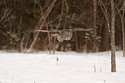 Josef Pittner - Great Grey Owl in flight