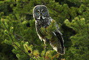 Owl Metal Prints - Great Grey Owl On The Hunt Metal Print by Bob Christopher
