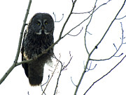 Owl Metal Prints - Great Grey Owl On The Lookout Metal Print by Bob Christopher