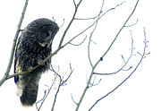Bob Christopher Framed Prints - Great Grey Owl On Watch Framed Print by Bob Christopher