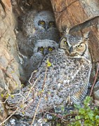 Perspective Imagery - Great Horned Owl and...
