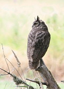 Snag Framed Prints - Great Horned Owl Framed Print by Angie Vogel