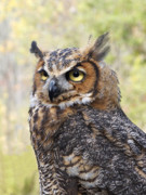 Great Horned Owl Print by Ann Horn