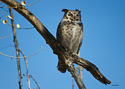 Stephen  Johnson - Great Horned Owl at Park