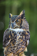 Birds Digital Art Prints - Great Horned Owl Print by Bill Tiepelman