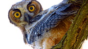 Catherine Natalia  Roche - Great Horned Owl