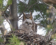 John Kees - Great Horned Owl Chick