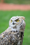 Christina Hunterwagner - Great Horned Owl