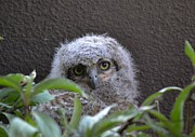 Cindy Micklos - Great Horned Owl