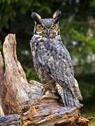 Craig Brown Art - Great Horned Owl by Craig Brown