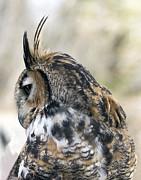 Great Horned Owl Print by Dana Moyer