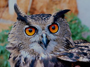 Great-horned Owls Framed Prints - Great Horned Owl Framed Print by Ellen Henneke