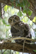 Great Birds Prints - Great Horned Owl Fledgling  Print by Saija  Lehtonen