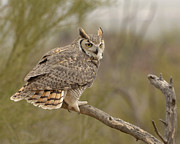 Owl Greeting Card Prints - Great Horned Owl Print by Heather Pickard