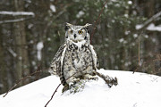 Storm Prints Photo Prints - Great Horned Owl in a Winter Snow Storm Print by Inspired Nature Photography By Shelley Myke