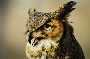 Fort Collins Digital Art Posters - Great Horned Owl Poster by Julieanna D