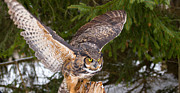 Simon Jones - Great Horned Owl Landing