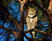 Mark Andrew Thomas Prints - Great Horned Owl Print by Mark Andrew Thomas