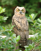 John Kees - Great Horned Owl on Fence