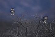 Blue Pyrography - Great Horned Owl pair at Twilight by Daniel Behm