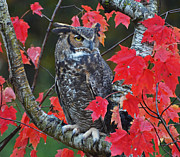Rodney Campbell - Great Horned Owl