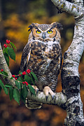 Autumn Photos Posters - Great Horned Owl Poster by Todd Bielby