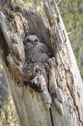 Owlet Prints - Great Horned Owlet Print by Dale Kincaid