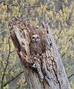 Daniel Behm Metal Prints - Great Horned Owlet Metal Print by Daniel Behm