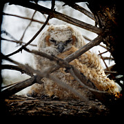 Owlet Framed Prints - Great Horned Owlet May 2011 Left the nest Framed Print by Ernie Echols