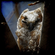 Owlet Photos - Great Horned Owlet Wind Blown by Ernie Echols