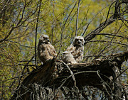 Great-horned Owls Framed Prints - Great Horned Owlets 1 Framed Print by Ernie Echols