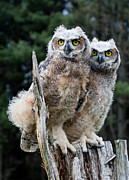 Barbara Mcmahon Prints - Great Horned Owlets Print by Barbara McMahon