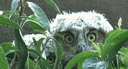 Cindy Micklos - Great Horned Owlets