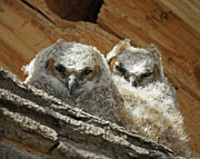 Great-horned Owls Framed Prints - Great Horned Owlets May 2011 Framed Print by Ernie Echols