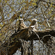 Great Birds Prints - Great Horned Owlets Photo Print by Ernie Echols