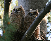 John Kees - Great Horned Owls in Tree