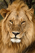 All - Great Mane Relaxed Lion by Tom Wurl