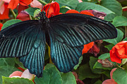 Papilio Memnon Prints - Great Mormon Butterfly Print by Gene Sherrill