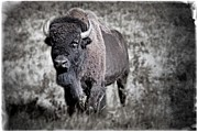 Asu Framed Prints - Great Plains Bison Framed Print by Peter J Coyle